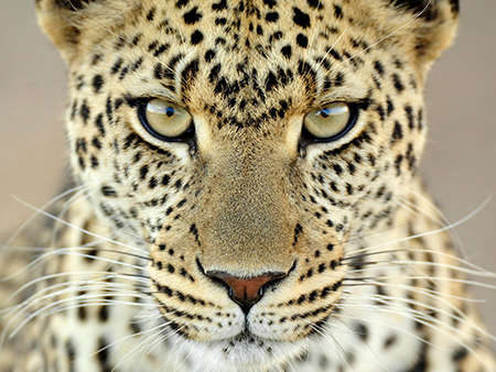 Leopard staring at you