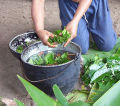 person preparing leaves in a pot